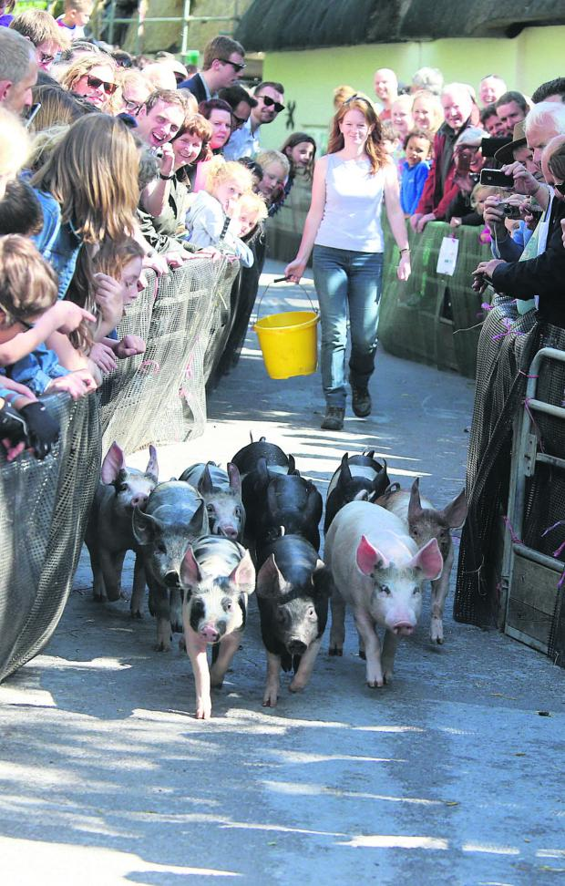 This Is Wiltshire: Hot to trot at the pig race