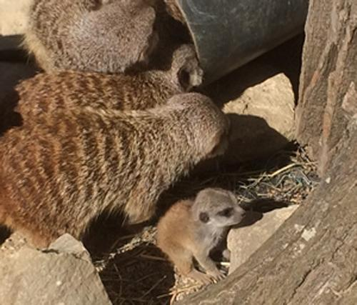 This Is Wiltshire: Meerkat pups are new friends for Studley butterflies