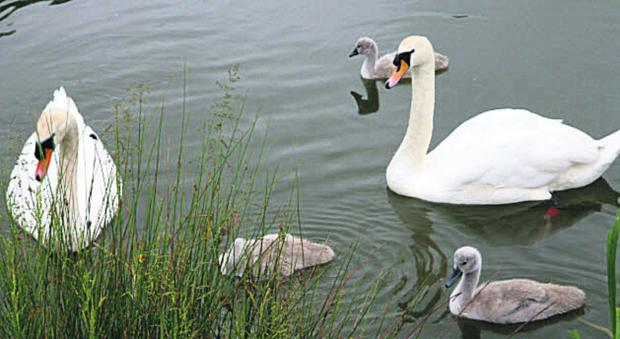 This Is Wiltshire: Some of the yet-to-be-named cygnets at Caen Hill locks, Devizes, with their parents