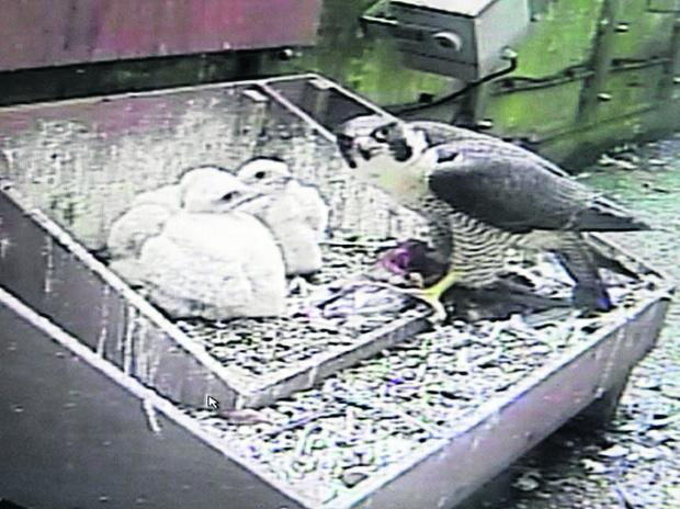 This Is Wiltshire: A CCTV image of the peregrine falcon chicks and a parent bird at Salisbury Cathedral