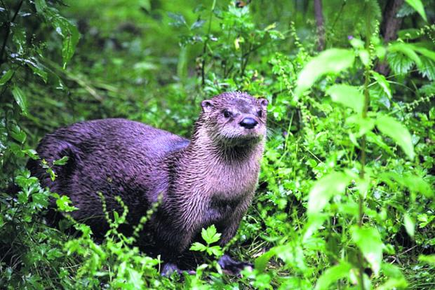 This Is Wiltshire: The otter that was seen on the bat walk through the wild river reserve