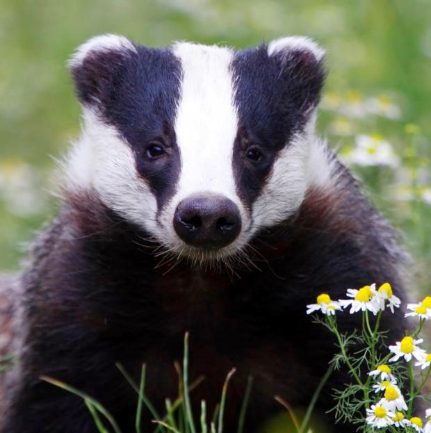 This Is Wiltshire: Police have issued a badger warning