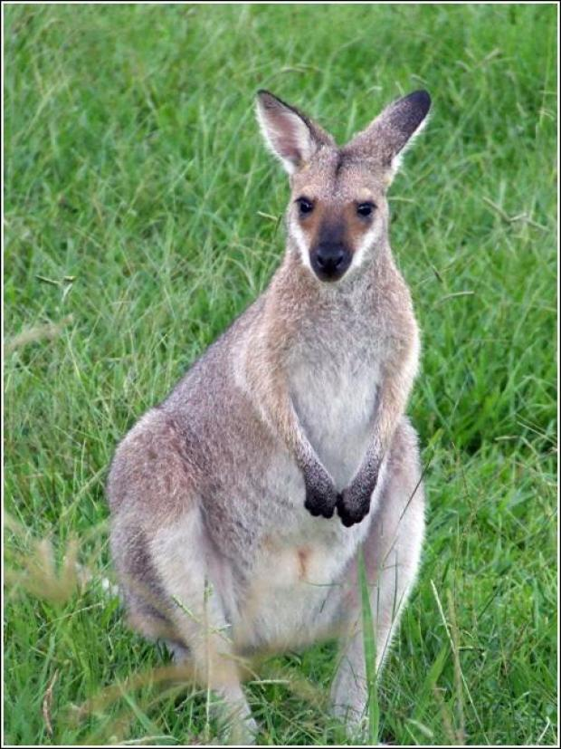 This Is Wiltshire: A wallaby similar to the one which is on the loose near Marlborough