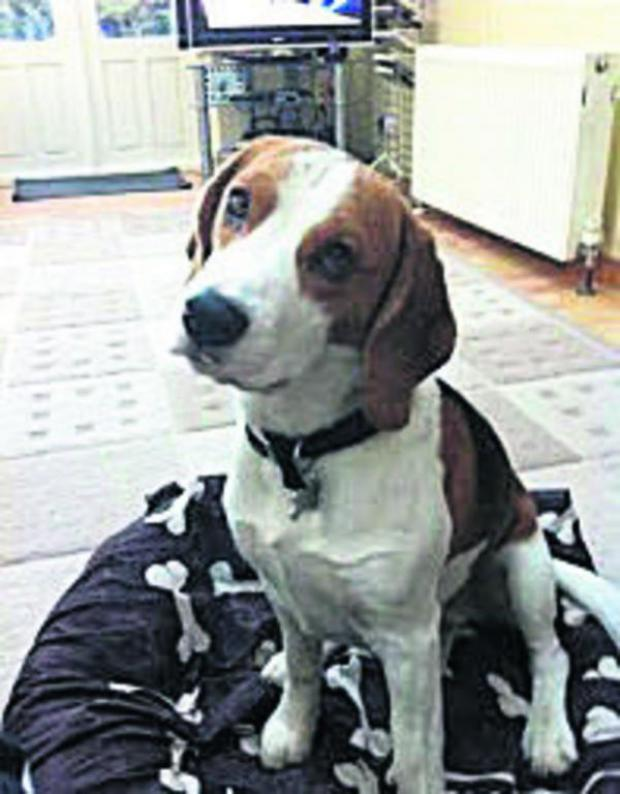 This Is Wiltshire: Have you seen Conker, a Beagle which has gone missing in Westbury?