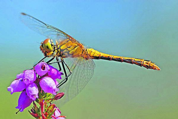 This Is Wiltshire: A common darter dragonfly