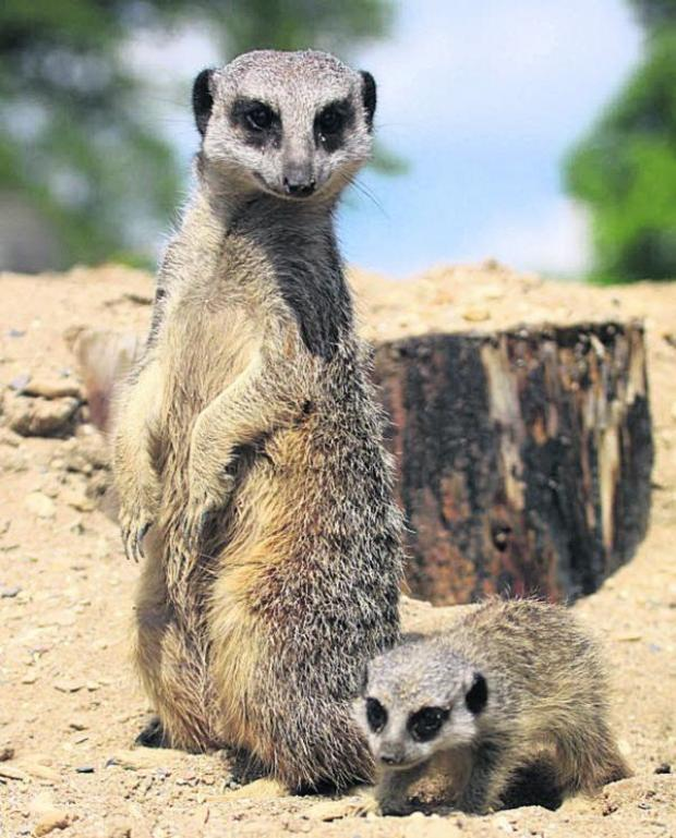 This Is Wiltshire: A parent keeps watch over the baby meerkat at Longleat Safari Park. Picture by Ian Turner