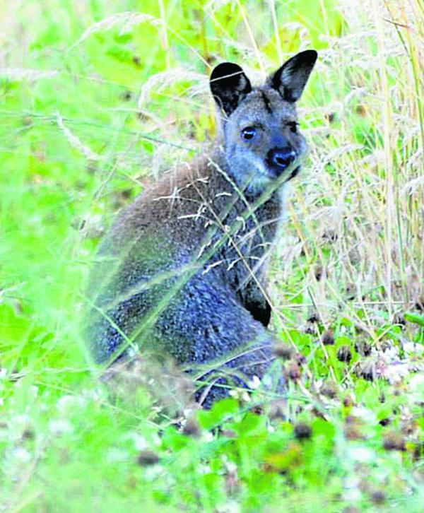 This Is Wiltshire: Wanda the wandering wallaby at large in Wiltshire. Picture by Phil Brady
