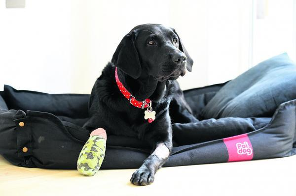 This Is Wiltshire: Labrador Lily cut her paw on cut glass    (DV1457) By Diane Vose