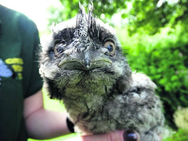 This Is Wiltshire: Ready for the next bonny baby contest – Jade Stott reared this tawny frogmouth  at home