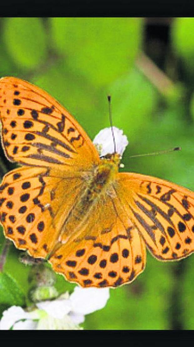 This Is Wiltshire: This silver-washed fritillary photographed in a garden in Southbroom Road, Devizes