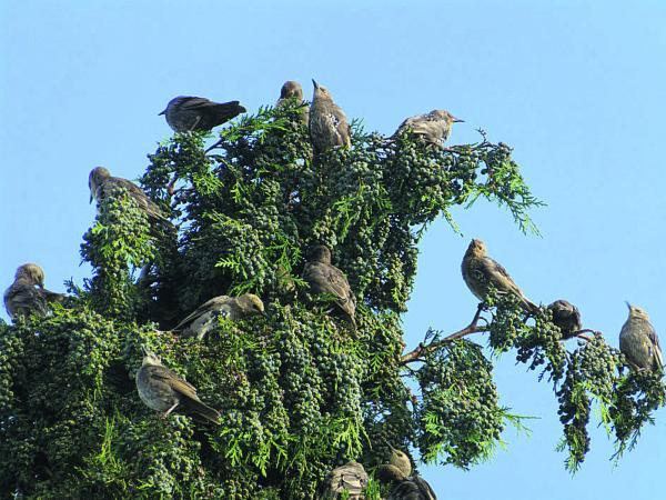 This Is Wiltshire: Starlings  in a  treetop