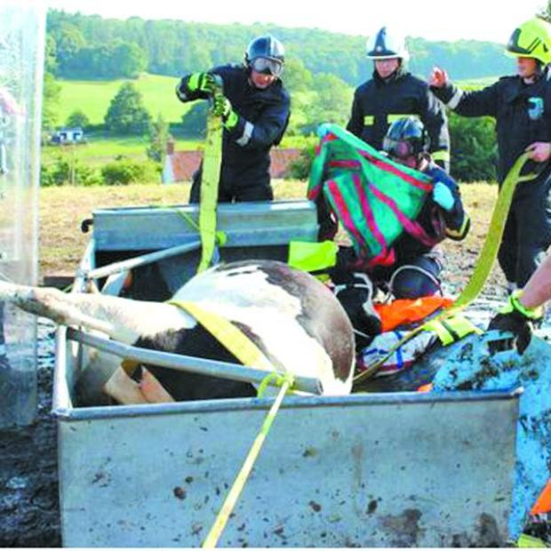This Is Wiltshire: Firefighters used specialist rescue equipment to free the cow from the water trough