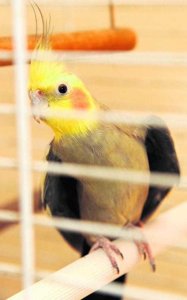 This Is Wiltshire: The lost cockatiel has chirped up since being in the care of Den Owen