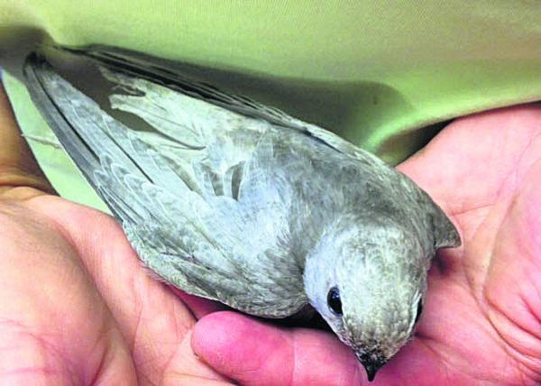 This Is Wiltshire: The silver swift rescued in Devizes