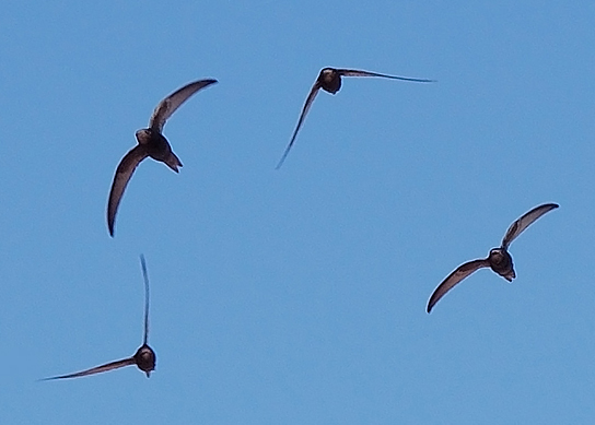 RSPB – Swifts, Keeping the Skies Alive