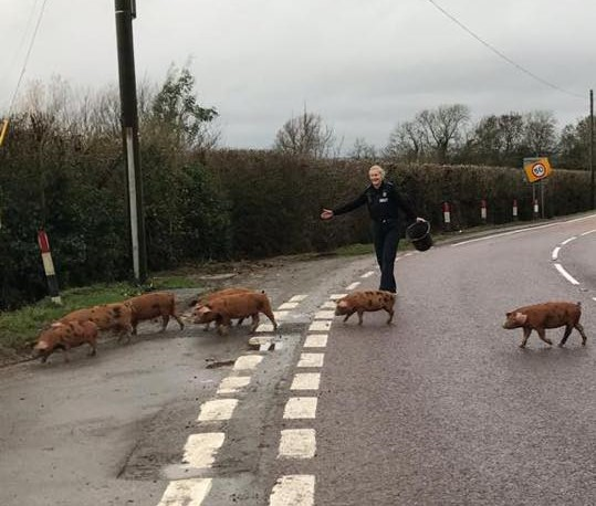 Piglets on the run rescue by police